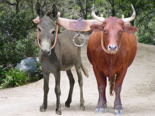 yoked-donkey-and-ox